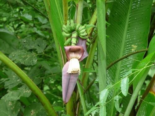 Цветок банана и зародившиеся плоды, которые находятся внутри цветка (маленькие беленькие)