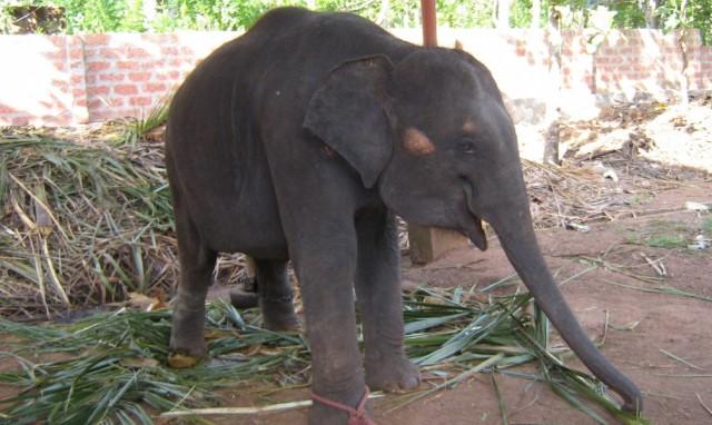 Слонёнок в Керале улыбается