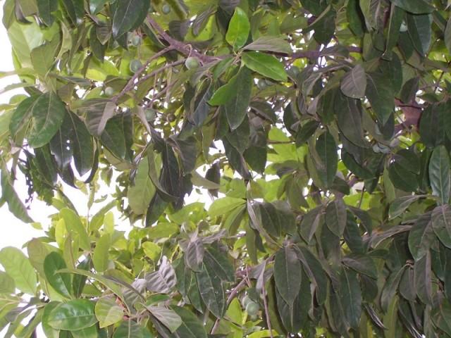 дерево рудракши