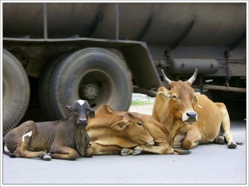 Бесстрашные коровы. Тируваннамалаи
