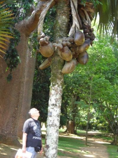 кокосы в Канди