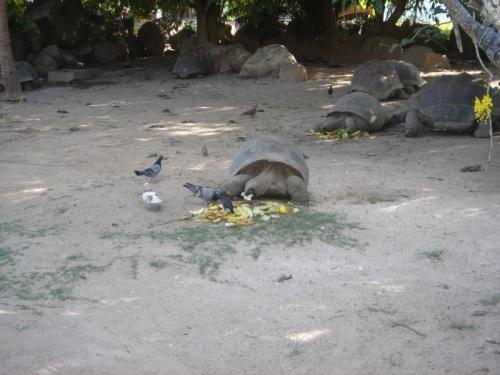 Злобная черепаха из отеля La Reserve (о. Праслин)