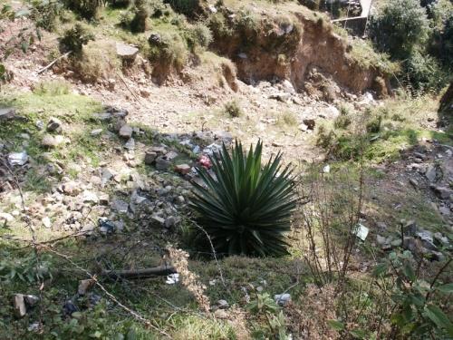 кактус гималайский