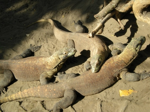 Комодские вараны, зоопарк в Джокьярте, Индонезия