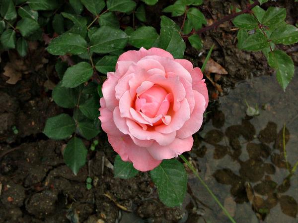 Розы в апреле