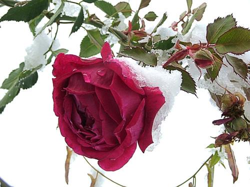 И розам холодно!