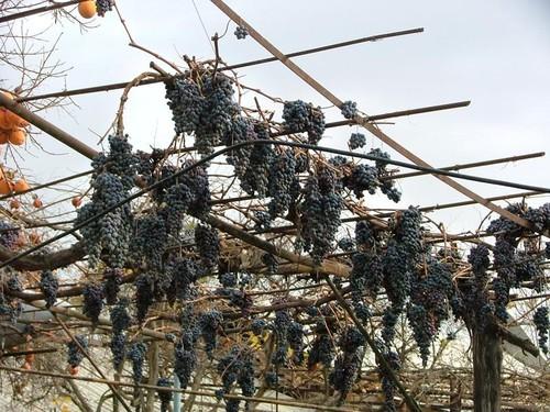 Виноград осенью....будет изюм!