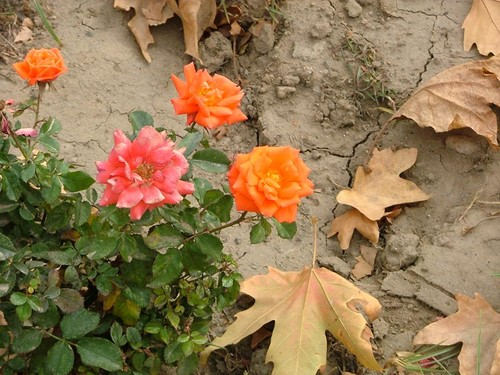 Розы осенью