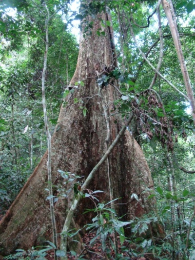 джунгли в Букит Лаванг - нац. парк Гунунг Лесер