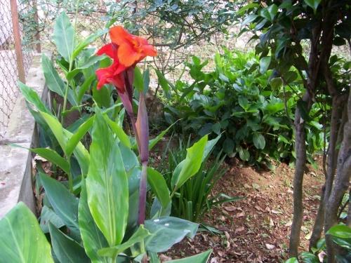 канны в саду