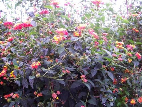 кустарник, цветет в Шиллонге повсюду