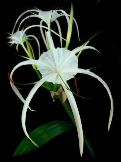 Цветы Таиланда.