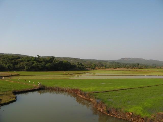 Рисовые поля в ближнем Подамболье