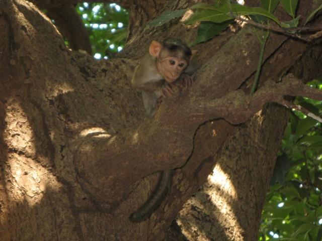 В джунглях вдоль дороги в начале Западных Гат полно обезьян