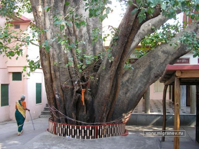 индийская смоковница