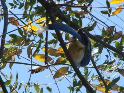 синяя птица счастья  для COCO!!!