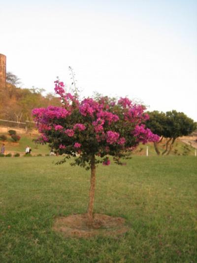 Когда бугенвилия зацветает на наших балконах, люди этому радуются. В Индии она - как сорняк ))) Растёт в каждой подворотне