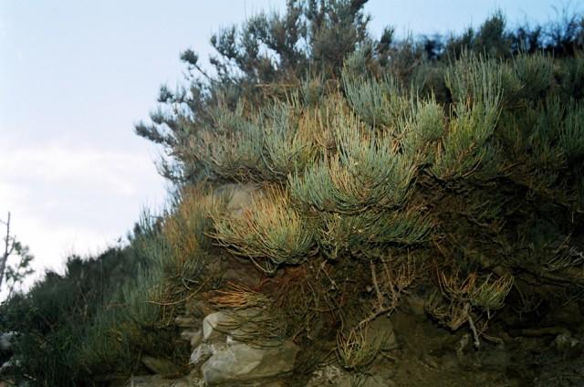 преславутая эфедра. предоложтельно - Ephedra gerardiana. Какбени, Непал