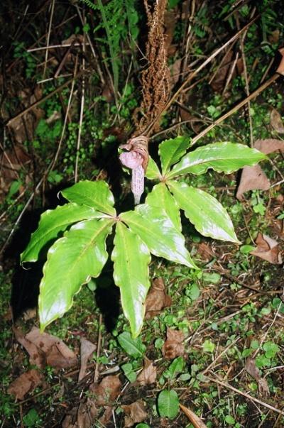Arisaema nepenthiodes непал (сарангкот?)