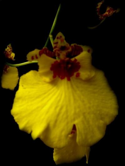 [+] Увеличить - Орхидеи из Ботанического сада Шри-Ланки. Орхидеи из Ботанического сада Шри-Ланки.