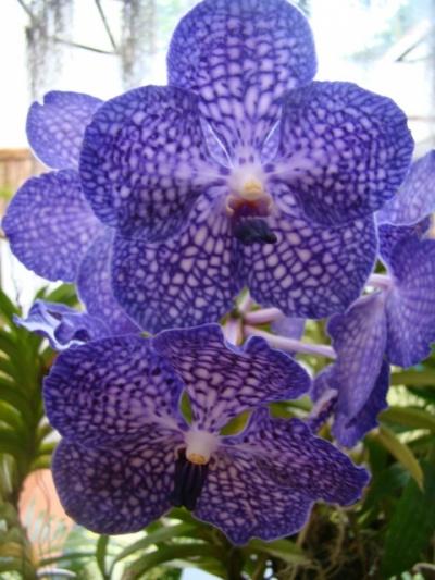 Орхидеи. Перадения