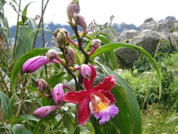 орхидеи Мачу Пикчу