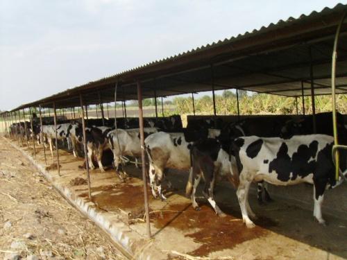 Коровки для молока и компоста