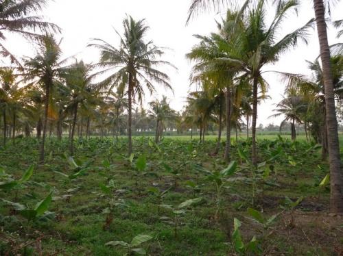 по дороге в Хампи- молодые банановые деревья