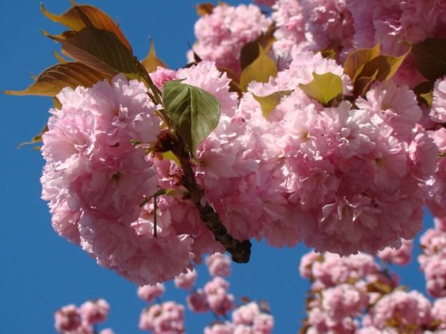 Цветение Сакур в Ужгороде