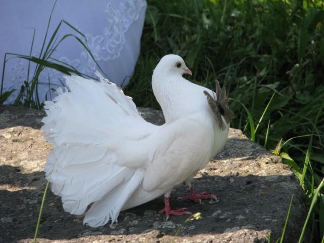 голубь просто франт и бабочка удачно села!