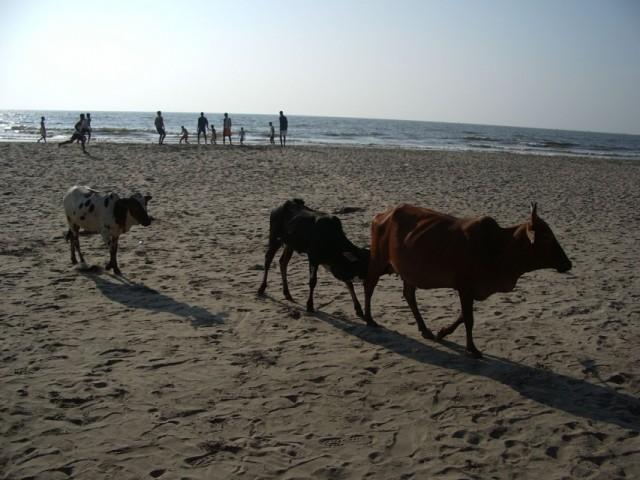 Коровы не просто декоративный элемент - они массивно удобряют почву чистейших и натуральных гоанских пляжей почти 24 часа в сутки