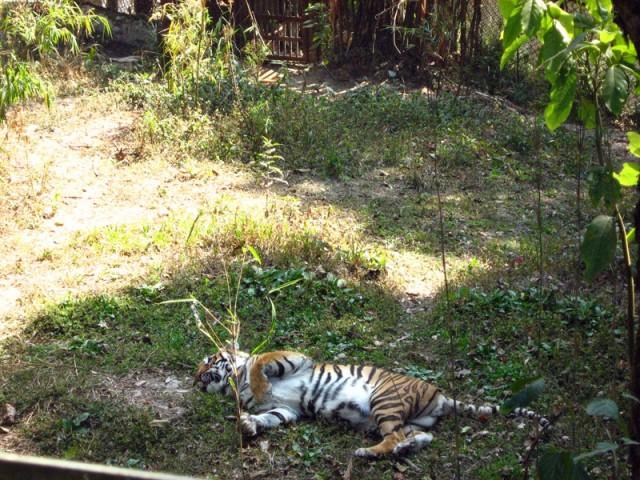 Тигр, говорящий АУМ...