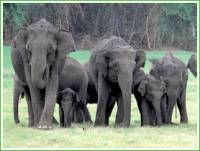 Слоны в Бандипуре