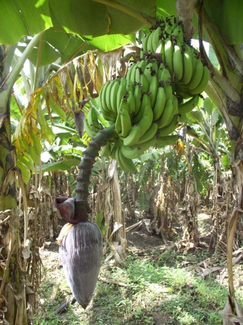 сама площадь - банановая роща