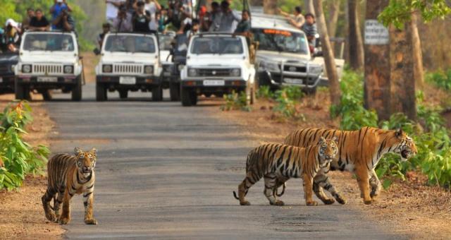 Тигры в заповеднике Сариска