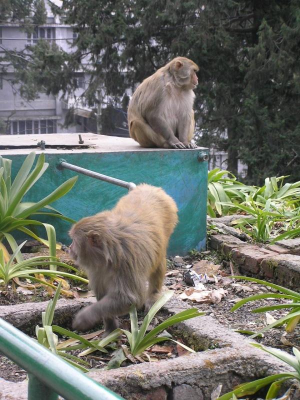 Danger macacas