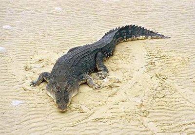 Гребнистый крокодил в нац. парке Бхитарканика