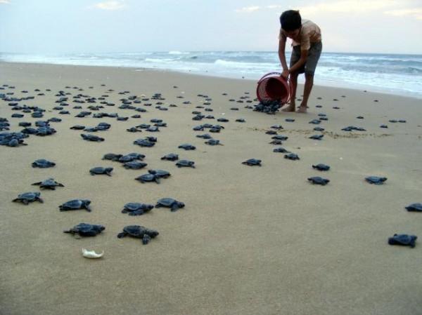 Вылупившееся черепашки на пляже Рушикулья