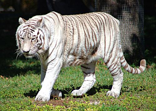 Белый тигр в зоопарке Нанданканан