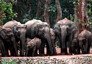 Слоны в заповеднике Чандака