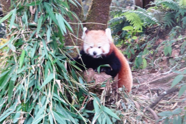 Красная панда в заповеднике