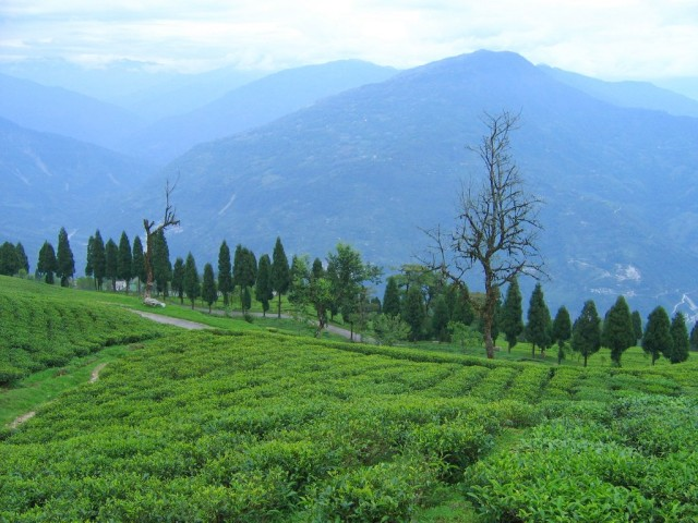 Чайные сады Теми