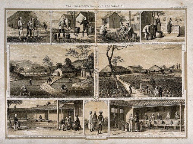 Гравюра 1850 года, изображающая этапы производства чая в Ассаме