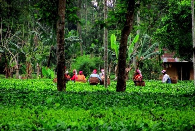 Чайные плантации Дибругарха