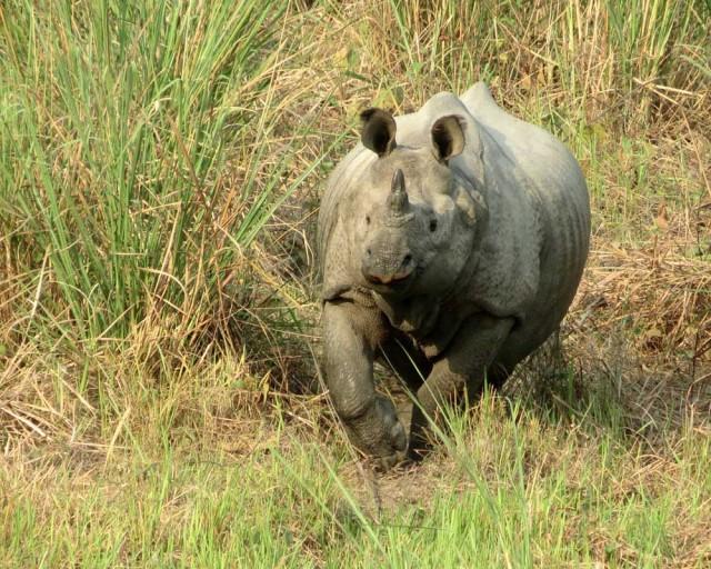 Однорогий носорог в заповеднике Джалдапара