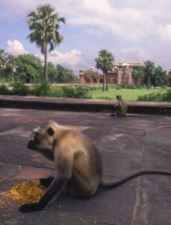Обезьяны на улице Дели