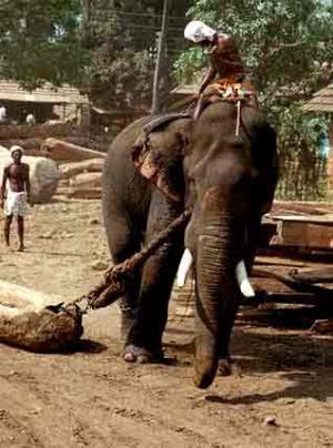 Индийский слон за работой