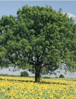 Дерево ним