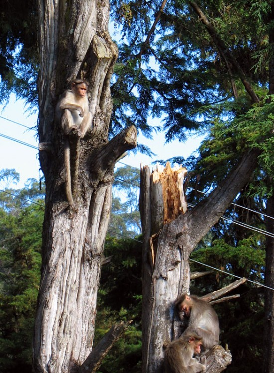 Мартышки в лесу. Кодайканал