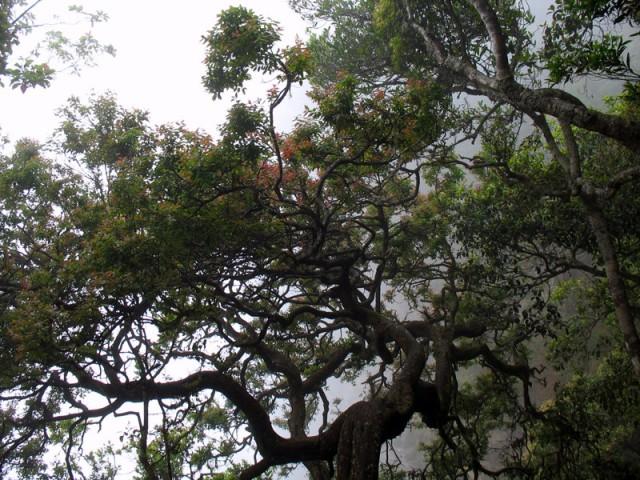 Деревья в окрестностях Кодайканала
